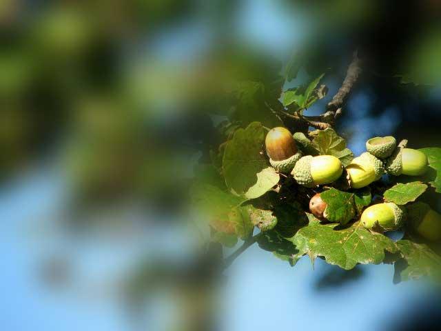 acorns-blur