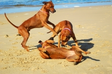 © Ankevanwyk | Dreamstime.com - Dogs Playing Photo